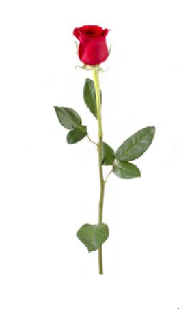 Obrázek z Růže se stonkem