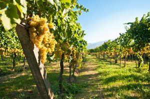 Obrázek pro kategorii vinice